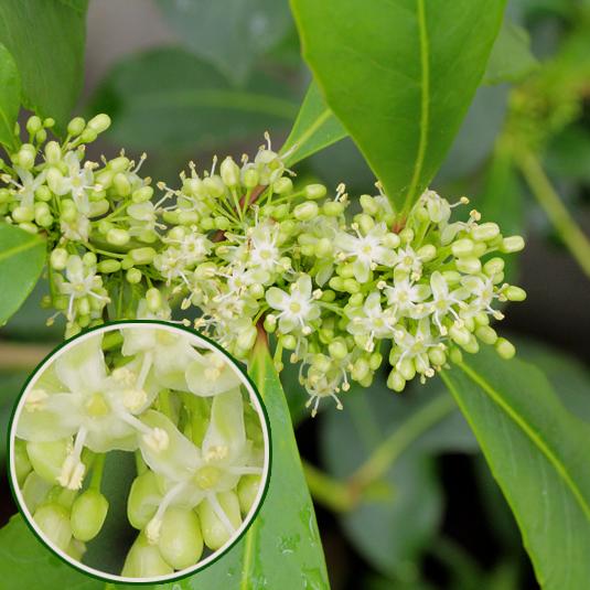 Kwitnący ostrokrzew paragwajski (yerba mate)