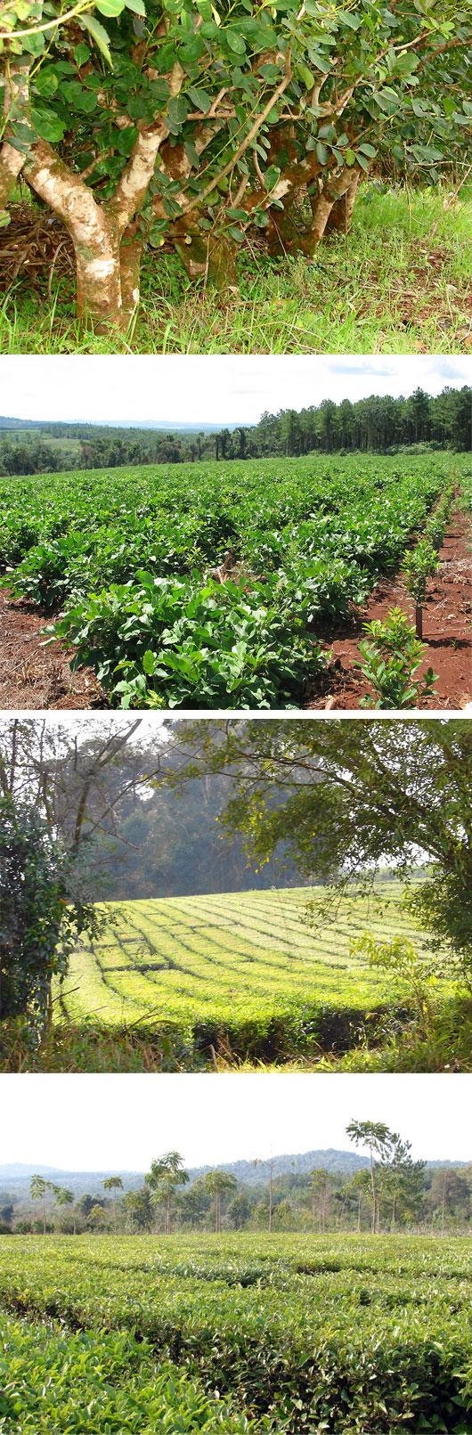 Pipore plantacja yerba mate