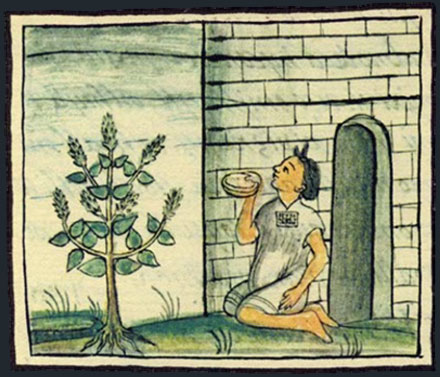 Salvia_hispanica_NASIONA_CHIA_Florentine_Codex