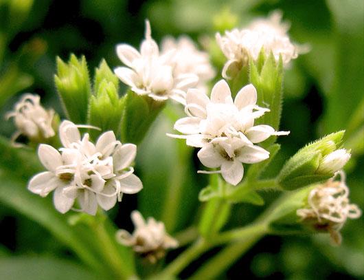 Stevia rebaudiana flowers2