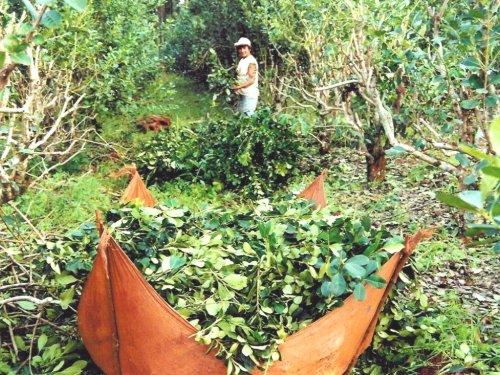 Tucangua zbiór yerba mate