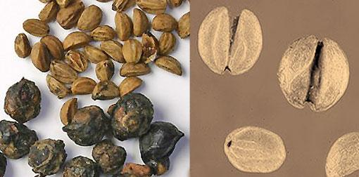 yerba mate nasiona