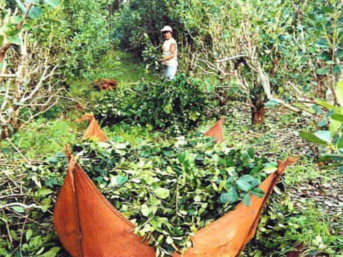 ostrokrzew paragwajski zbiór